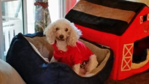 Buddy feeling better after surgery – wearing a shirt to cover his Fentanyl patch