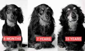 Dog as it ages